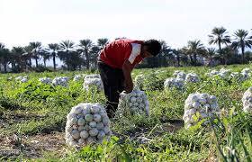سموم کشاورزی پیاز باکیفیت